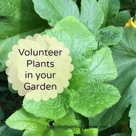 volunteer vegetable plants