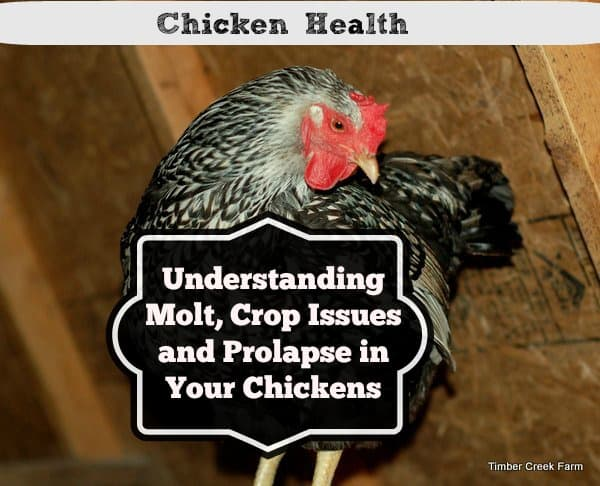 Chicken Health Understanding Molt, Crop Issues and Prolapse in Your Chickens