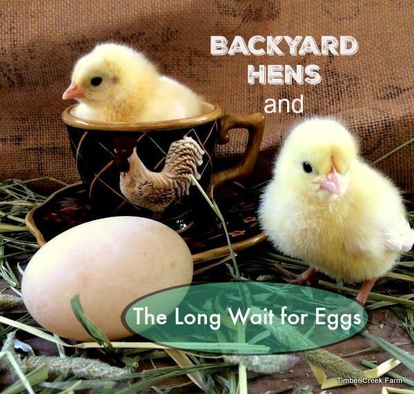 backyard hens
