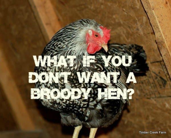Broody hen