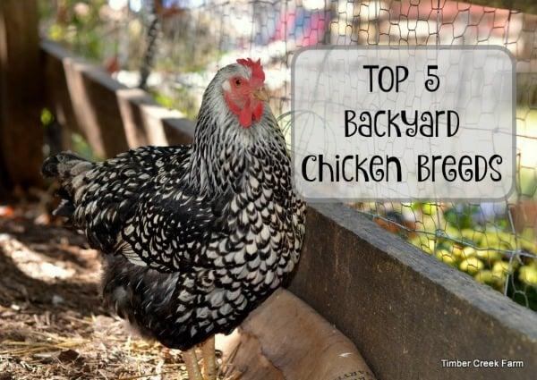 Best Backyard CHickens