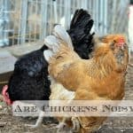 Quiet Chickens - What Breeds to Choose in the Suburbs