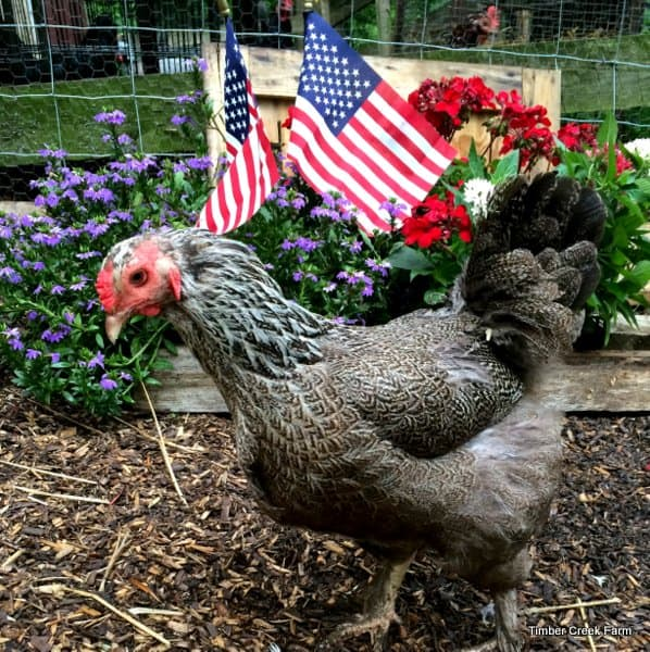 patriotic chicken flock