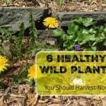 6 Healthy Wild Plants to Harvest Now