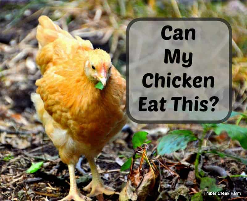 can chickens eat