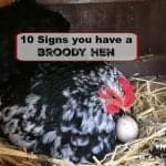 10 Signs You Have a Broody Hen