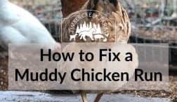 muddy chicken run