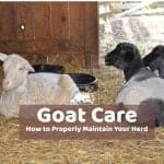 Goat Care and Maintenance of Healthy Goats
