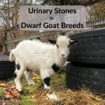Goat Urinary Stones in Dwarf Goat Breeds
