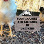 Foot Injuries in Chickens -Methods That Help Heal